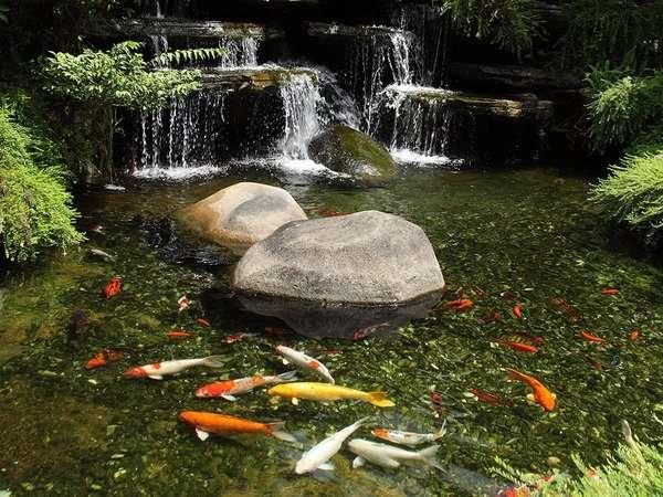 Pond with koi fish swimming around